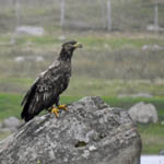 immature White-tailed Eagle
