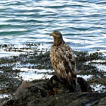 juvenile White-tailed Eagle, North Uist