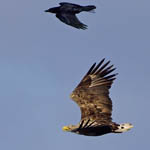 White-tailed Eagle with Raven