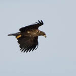 immature White-tailed Eagle, Uist