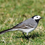 White Wagtail, male Outer Hebrides