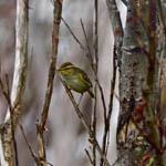 Yellow-browed Warbler, North Uist