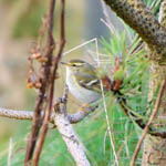 Yellow-browed Warbler, Carinish, North Uist