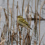 Yellow-browed Warbler at Ardvule