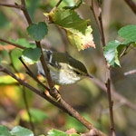 Yellow-browed Warbler, South Uist